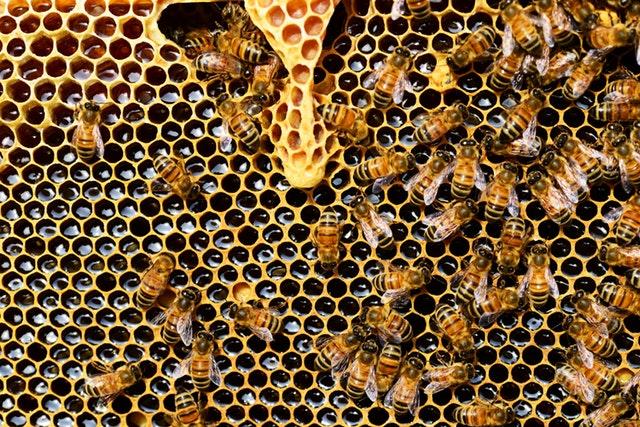 queen-cup-honeycomb-honey-bee-new-queen-rearing-compartment